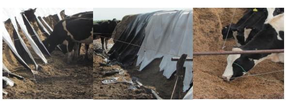 Autoconsumo de silo en el tambo: una alternativa a tener en cuenta